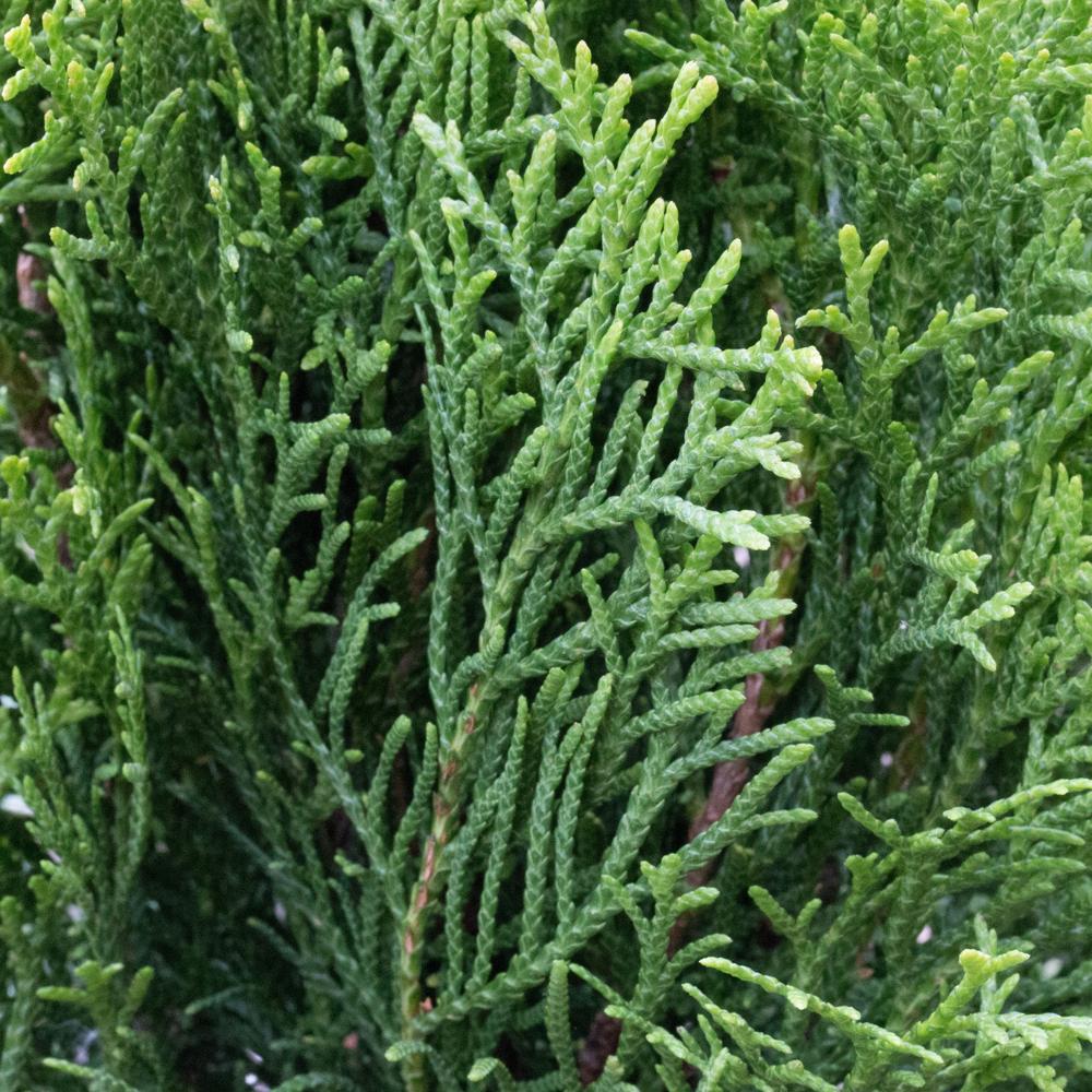Туя западная 'Смарагд' быстрорастущие растения, туя западная, хвоя зеленая, туя, крона конусовидная