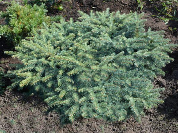 Ель зеленая Энгельмана,1.2-1.5 метра