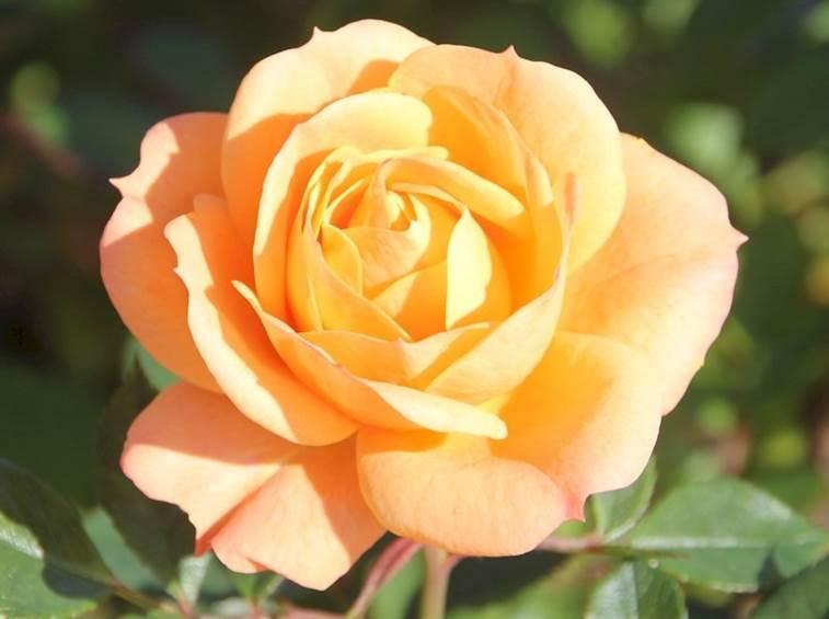 Роза Априкот Клементина  Apricot Clementine