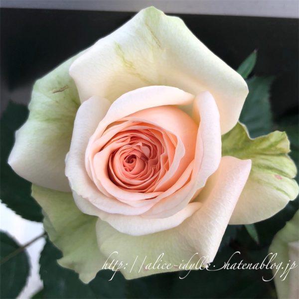Роза Атена Кордана Athena Kordana