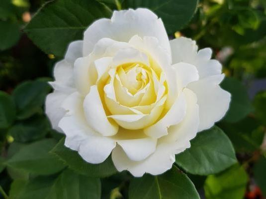 Роза Крон принцесса Мери (Kronprinsesse Mary)