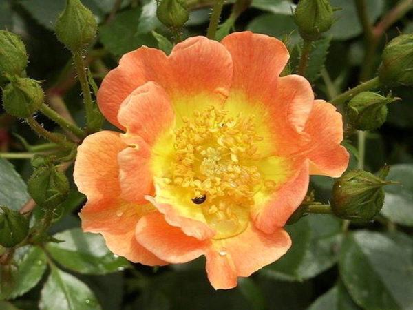 Роза Эйфория (Euphoria)