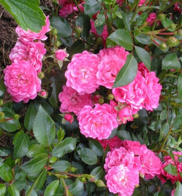 Роза Лавли фейри (Lovely Fairy)