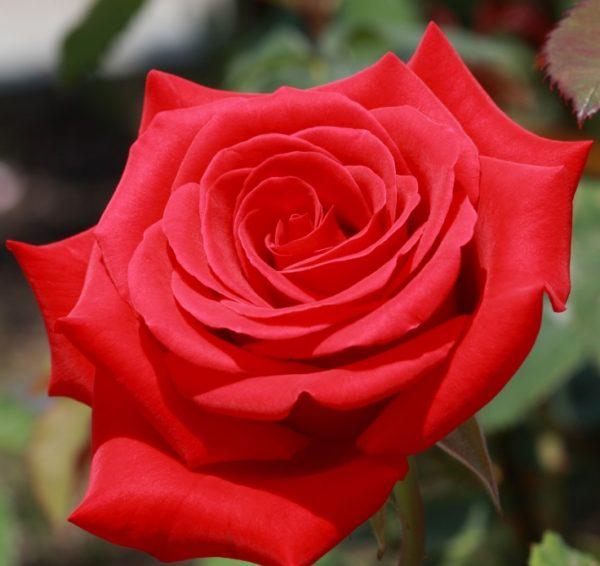 Роза Ред Микадо  Red Mikado