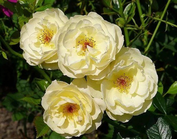 Роза Зонненширм (Sonnensсhirm) непрерывноцветущая, желтые розы, почвопокровные розы