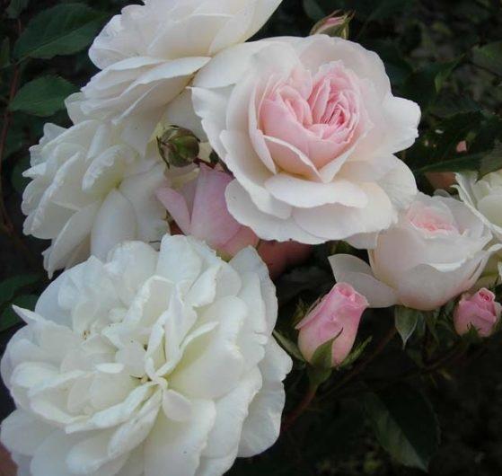 Роза Свани (Swany)
