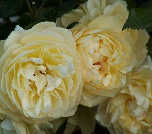 Роза Зоненширм (Sonnensсhirm)