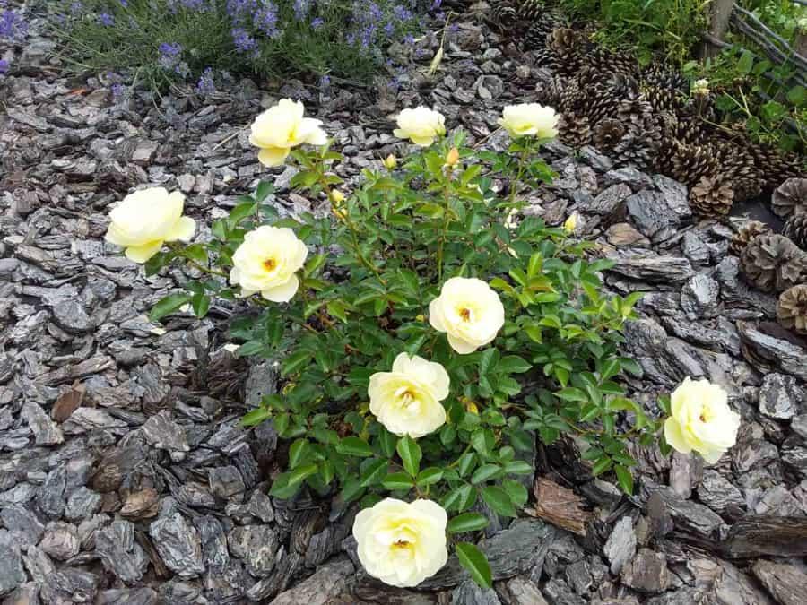Роза Зонненширм (Sonnensсhirm)