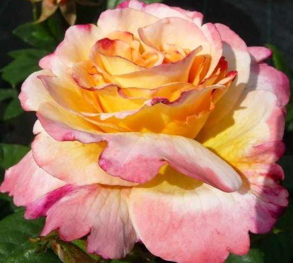 Роза Акварель Aquarell