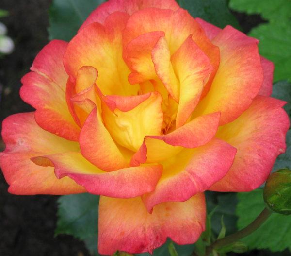 Роза Бонанза Bonanza