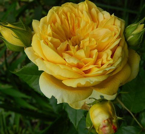 Роза Голден Зест (Golden Zest)