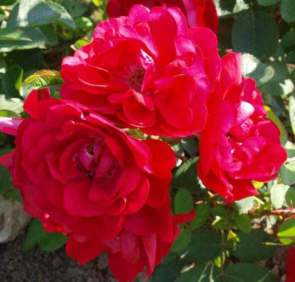 Роза Ханзеленд (Hansaland)