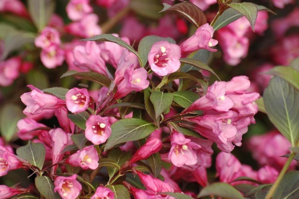 Вейгела 'Нана Пурпуреа' Красивоцветущие растения, декоративный кустарник, вейгела