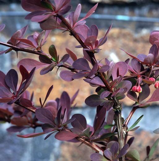Барбарис Тунберга 'Ред Чиф' живая изгородь, барбарис крастнолистный, барбарис, для городского озеленения