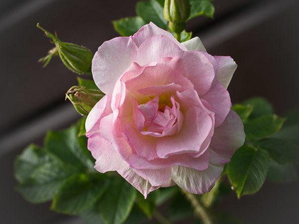 Роза Ритаусма Ritausma
