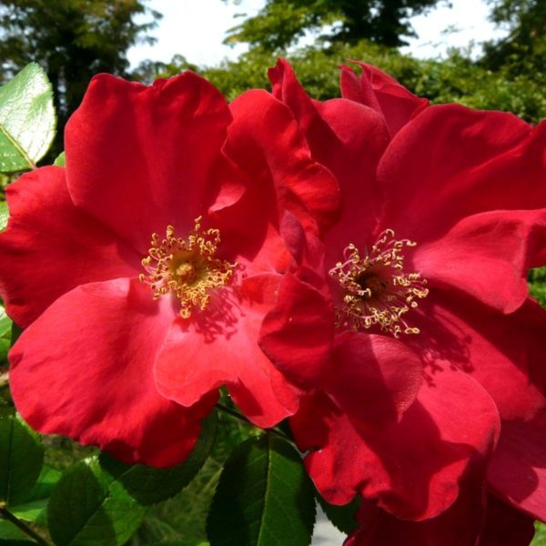 Роза Робуста Robusta