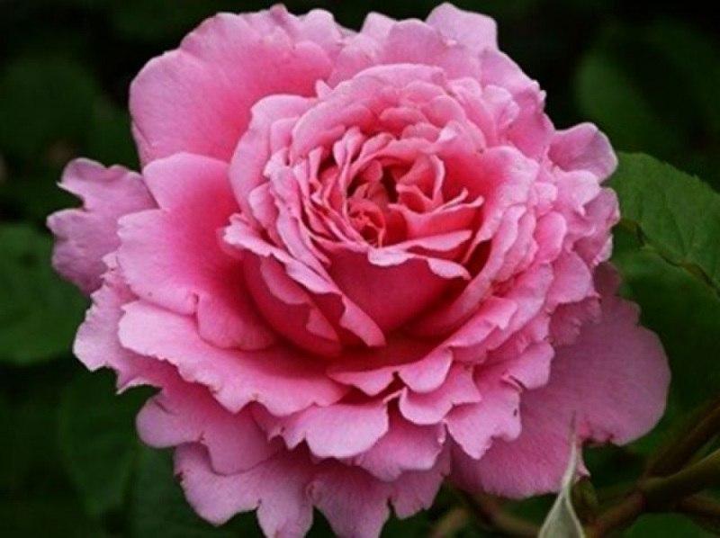 Роза Бьенвеню Bienvenue