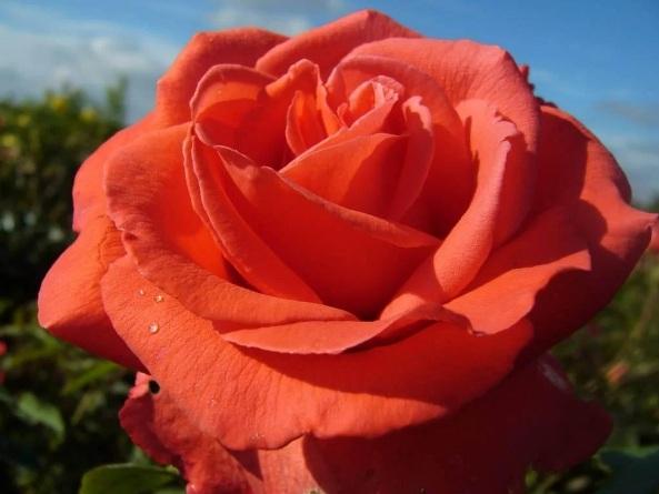 Роза Мэйнтауэр (Maintower) ароматные, плетистые розы, красные розы