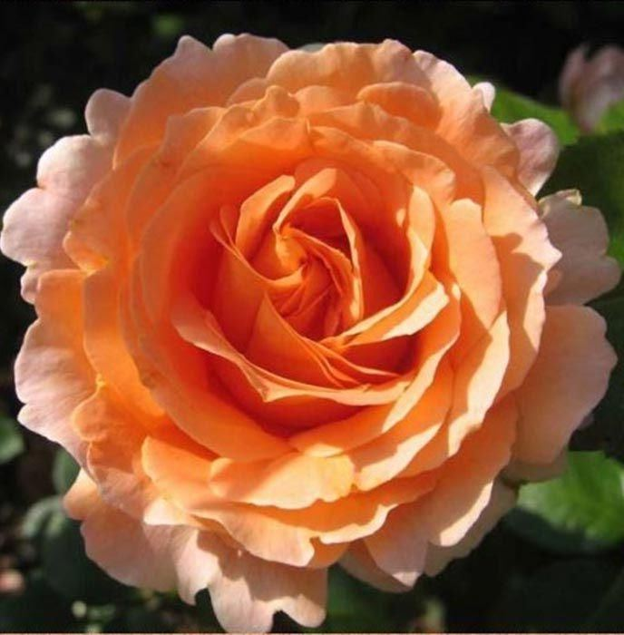 Роза Полька (Polka)