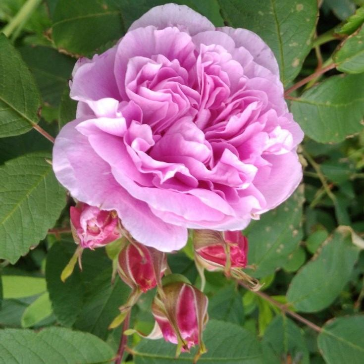 Роза Терез Бунье (Therese Bugnet) непрерывноцветущая, парковая роза, розовая роза