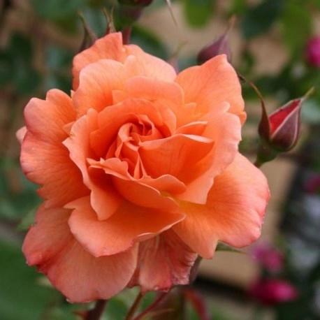 Роза Вестерлэнд (Westerland)