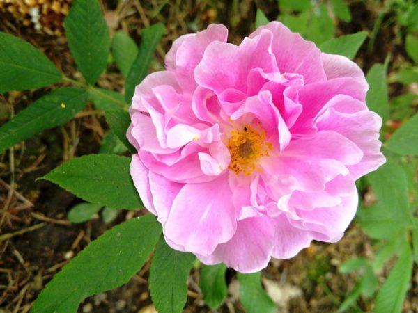 Роза Терез Бунье Therese Bugnet