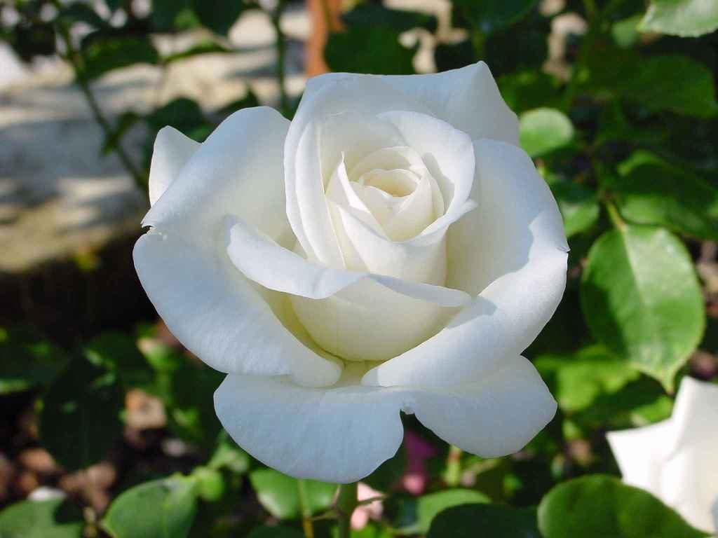 Роза Вирго (Virgo Cl.) плетистые розы, белые розы