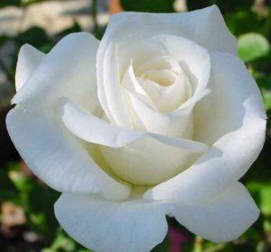 Роза Вирго Virgo Cl.