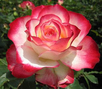 Роза Юбилей принца де Монако (Jubile du Prince de Monaco) с2