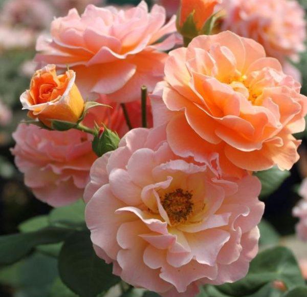Роза Арабия Arabia