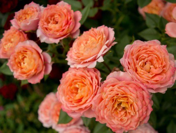 Роза Бриоза Briosa