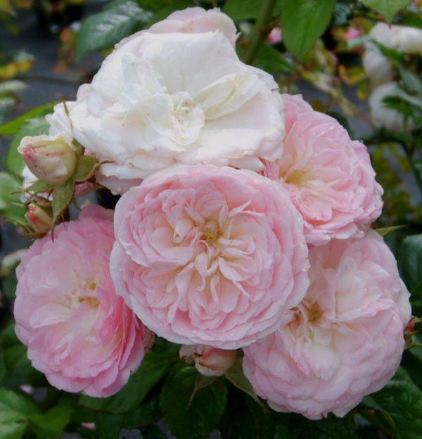 Роза Букет Перфейт Bouquet Parfait