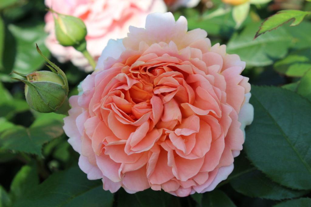 Роза Чиппендейл (Chippendale) с2