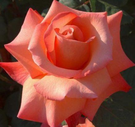 Роза Христофор Колумб (Cristoforo Colombo) с2