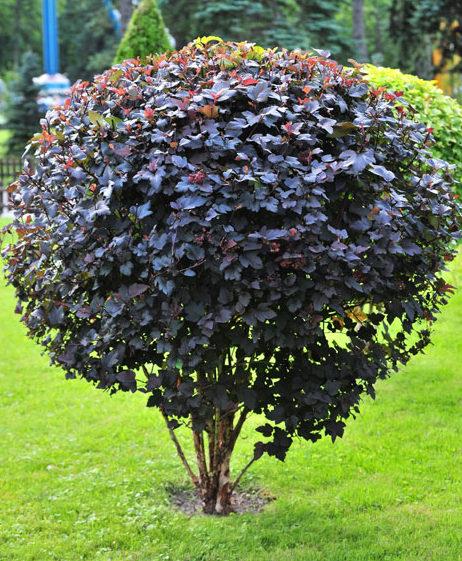 Пузыреплодник Диаболо Physocarpus Opulifolius Diabolo