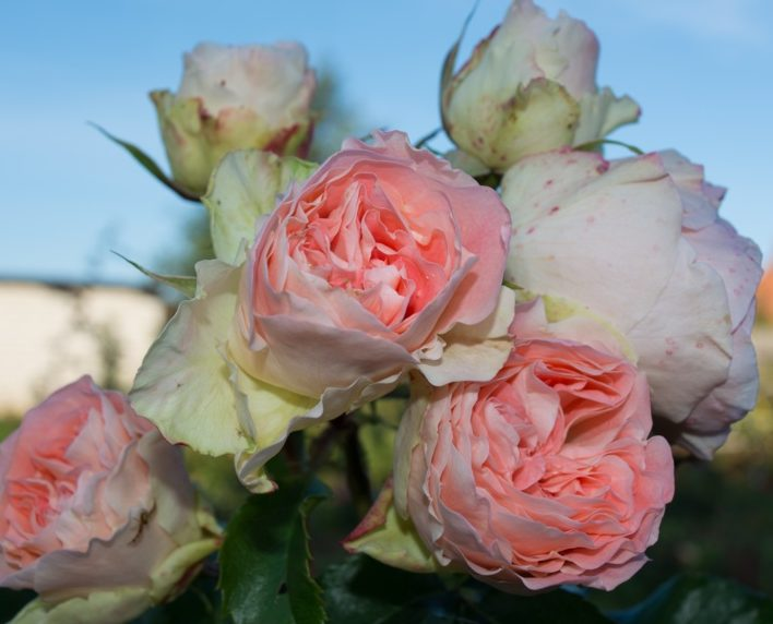 Роза Джэт Сэт (Jet Set) розовая роза, флорибунда
