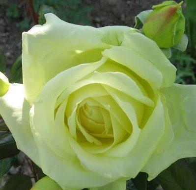 Роза Эльф Elfe