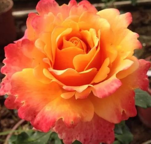 Роза Френезия Frenesie