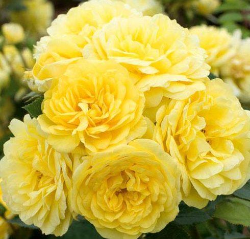 Роза Фрезия (Friesia)