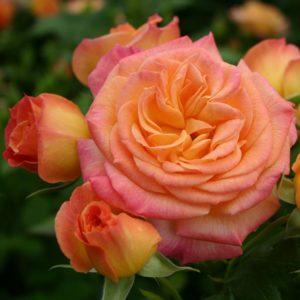 Роза Гартенспасс Gartenspass