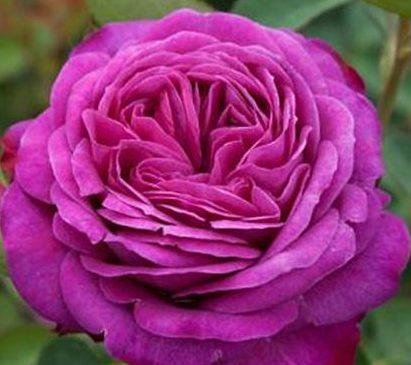 Роза Гете Johann Wolfgang von Goethe Rose