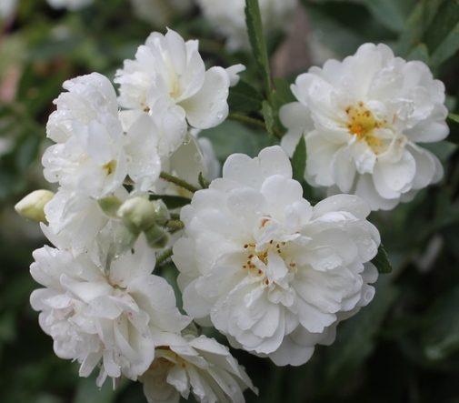 Роза Гирлянд дэ Амур (Guirlande d'Amour) белые розы