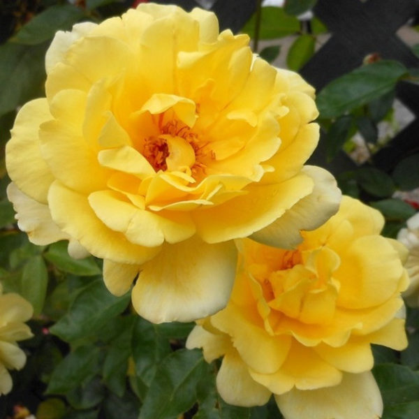 Роза Голден Шоуэрз Golden Showers