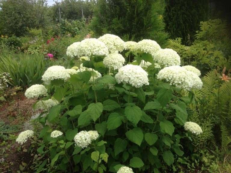 Гортензия Аннабель (Hydrangea arborescens Annabelle) гортензия, древовидная гортензия, белая гортензия