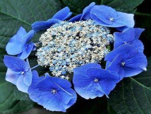 Гортензия Блюберд Bluebird