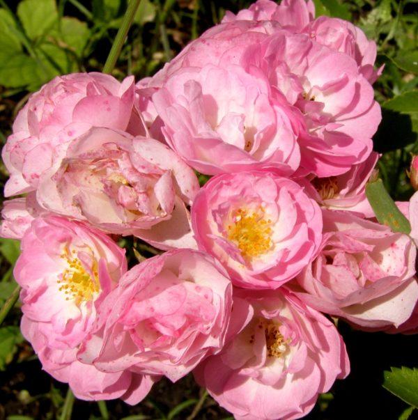 Роза Хевенли Пинк Heavenly Pink