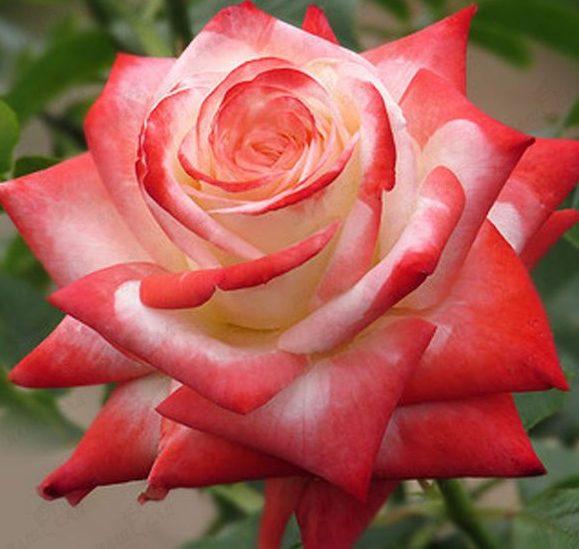 Роза Императрис Фарах (Imperatrice Farah) устойчивая к болезням, двухцветные розы, для срезки, чайно-гибридные розы