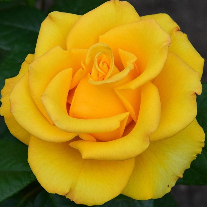 Роза Керио (Kerio) с2