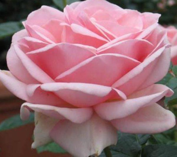 Роза Куин Элизабет Queen Elizabeth