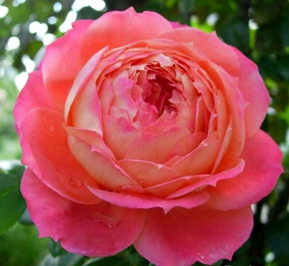 Роза Куин оф Херц (Queen of Hearts) с2 повторноцветущие, оранжевые розы, флорибунда